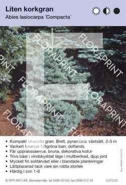 Abies lasiocarpa Compacta