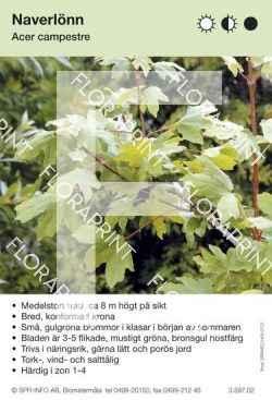 Acer campestre