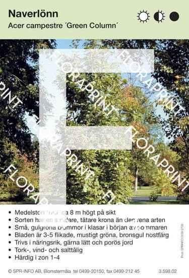 Acer campestre Green Column