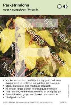 Acer conspicum Phoenix