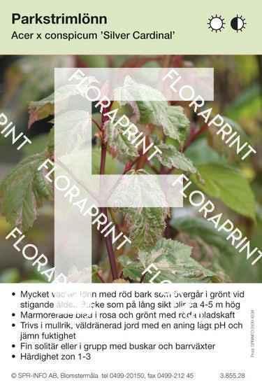 Acer conspicum Silver Cardinal
