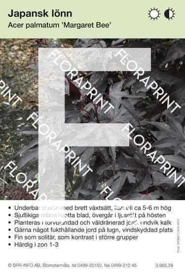 Acer palmatum Margaret Bee