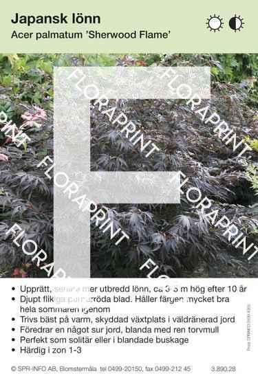 Acer palmatum Sherwood Flame