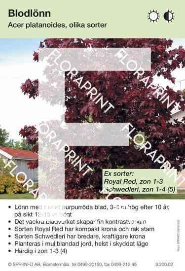 Acer platanoides  rödbl (sorter:)