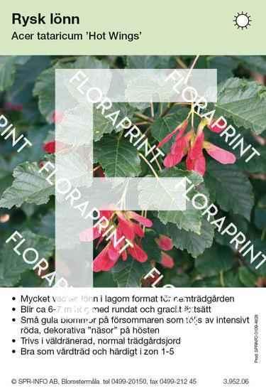 Acer tataricum Hot Wings