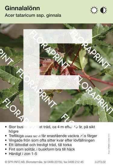 Acer tataricum ssp ginnala