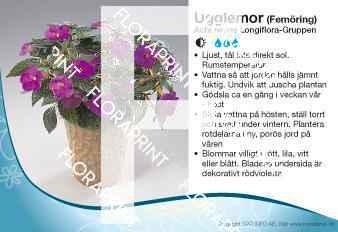 Achimenes Longiflora-Gruppen