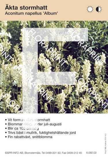 Aconitum napellus Album