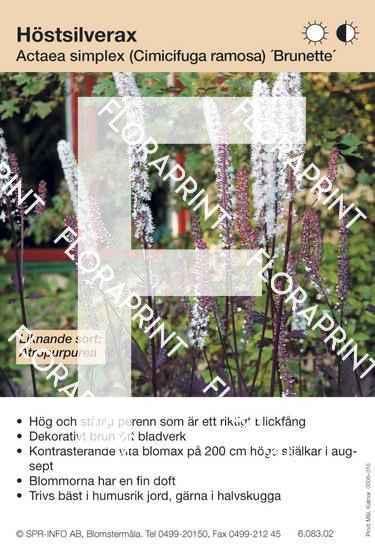 Actaea simplex Brunette