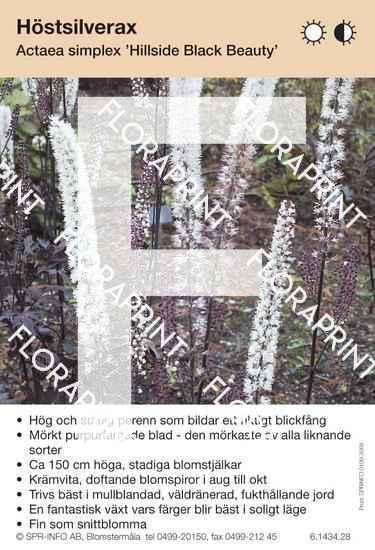 Actaea simplex Hillside Black Beauty