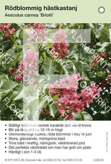 Aesculus carnea Briotti