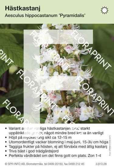 Aesculus hippocastanum Pyramidalis
