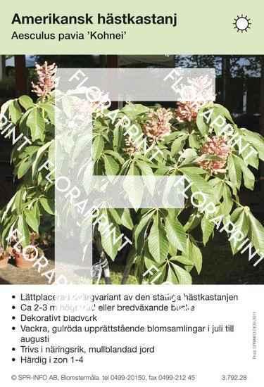 Aesculus pavia Kohnei