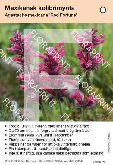 Agastache mexicana Red Fortune