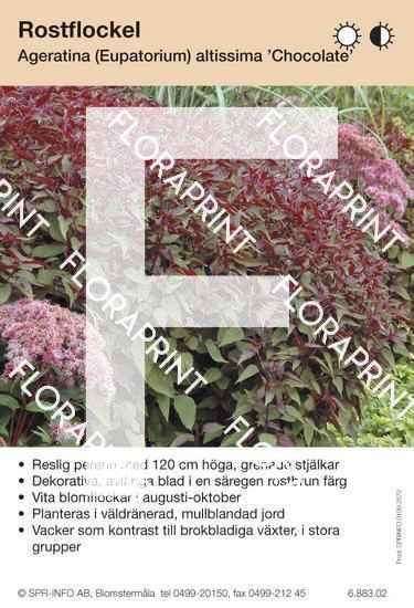 Ageratina (fd Eupatorium) altissima Chocolate