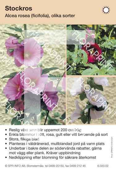 Alcea rosea allmän (fd ficifolia)