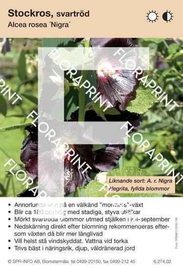 Alcea rosea Nigra (sorter:)