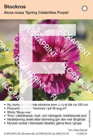 Alcea rosea Spring Celebrities Purple