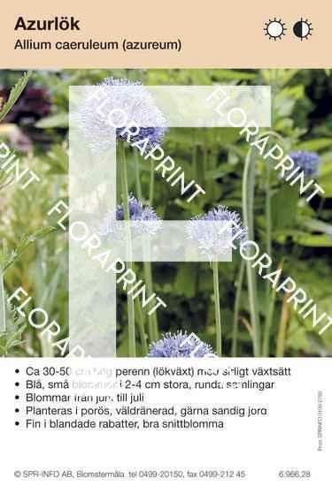 Allium caeruleum (fd azureum)