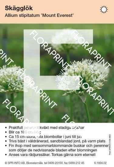 Allium stipitatum Mount Everest