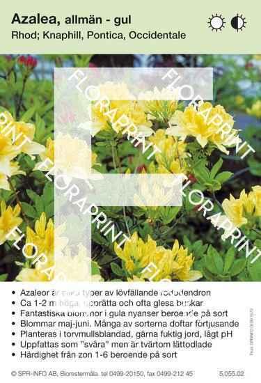 Allmän bild azalea