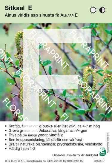 Alnus viridis Alnarp E