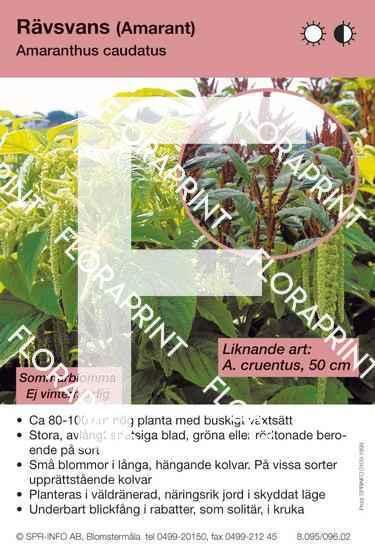 Amaranthus caudatus (likn art:)