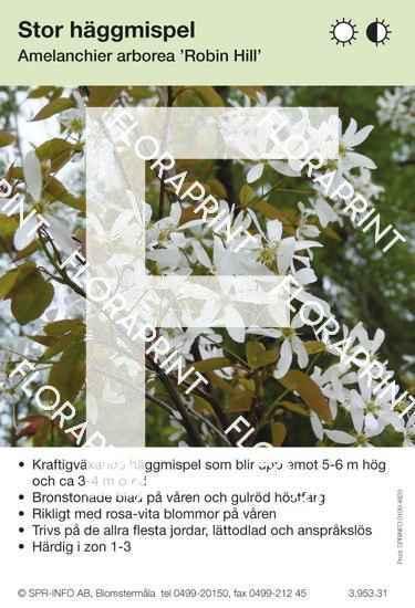 Amelanchier arborea Robin Hill