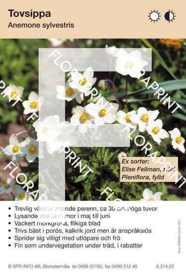 Anemone sylvestris (sorter:)