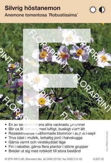 Anemone tomentosa Robustissima
