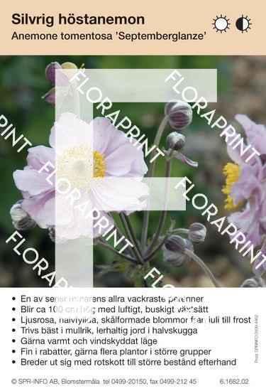 Anemone tomentosa Septemberglanz