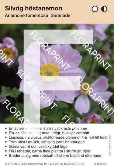 Anemone tomentosa Serenade