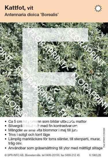 Antennaria dioica Borealis