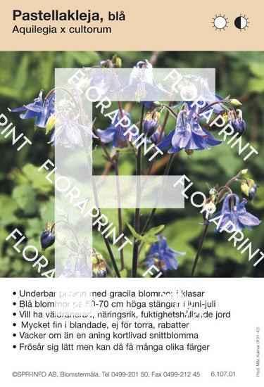 Aquilegia cultorum (blå)