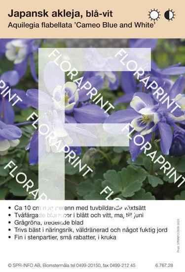 Aquilegia flabellata Cameo blå/vit
