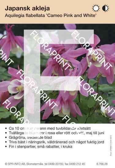 Aquilegia flabellata Cameo rosa/vit