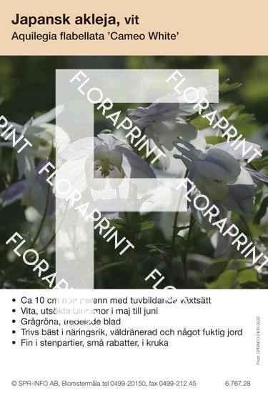 Aquilegia flabellata Cameo vit