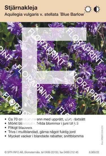 Aquilegia vulgaris Blue Barlow