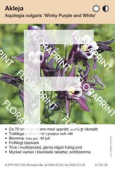Aquilegia vulgaris Winky Purple and White