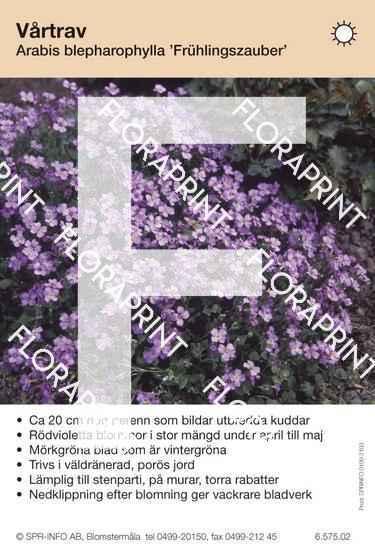 Arabis blepharophylla Frühlingszauber