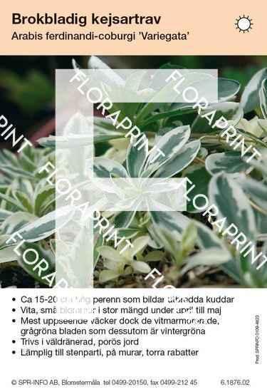 Arabis ferdinandi-coburgi Variegata