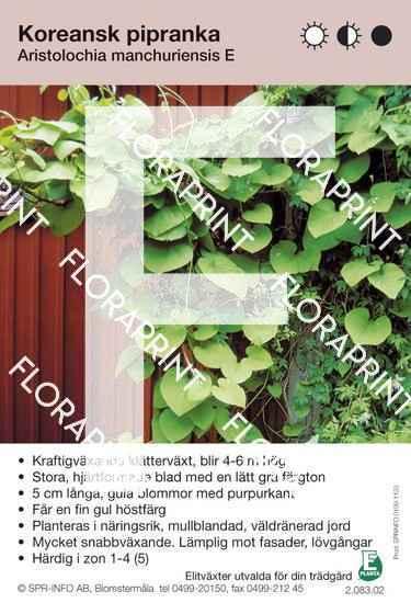 Aristolochia manchuriensis E