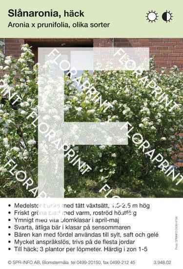 Aronia prunifolia allmän
