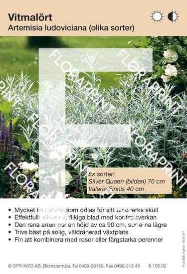 Artemisia ludoviciana (sorter:)