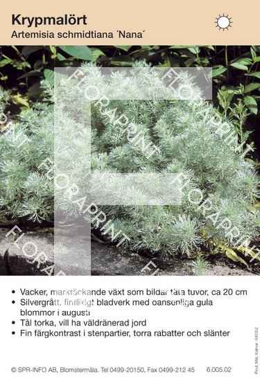 Artemisia schmidtiana Nana