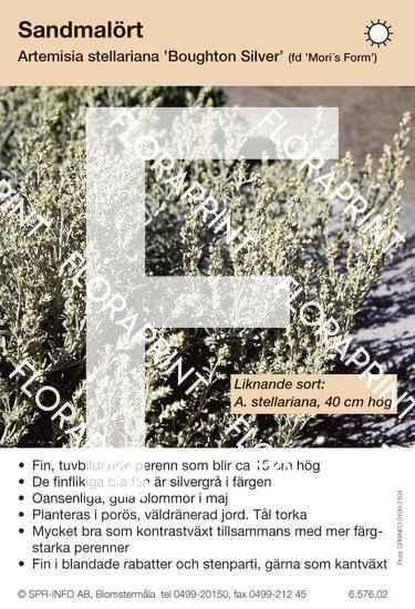 Artemisia stellariana Boughton's Silver (fd Mori´s Form)