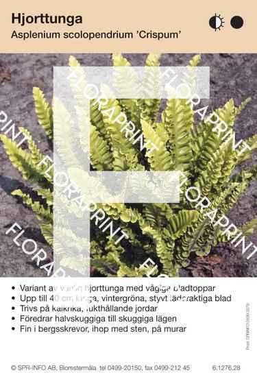 Asplenium scolopendrium Crispum