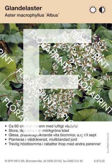 Aster macrophyllus Albus