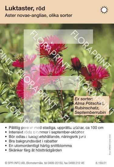 Aster novae-angliae (röd) sorter: