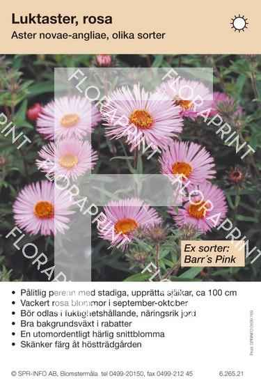 Aster novae-angliae (rosa) sorter: